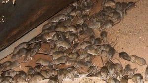 Lutte contre les souris en Vendée, Dératisation souris.
