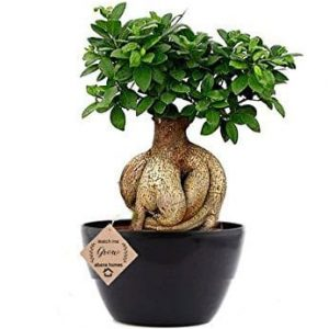 Ficus Bonsai Live Plant 5 Years Old