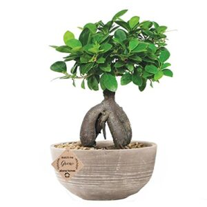 Grafted Ficus Indoor 4 Year Old