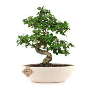 Carmona Indoor Bonsai with Ceramic Pot- 9 year old