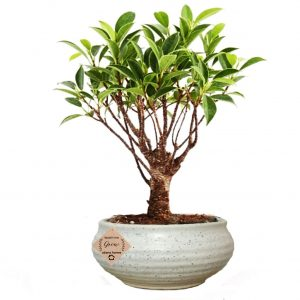 I Shape Ficus Bonsai Live Plants with Beautiful Pot