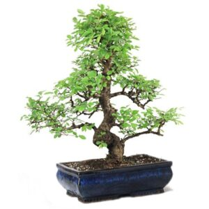 Ulmus Bonsai Tree 15 Year old – 35-40 cm