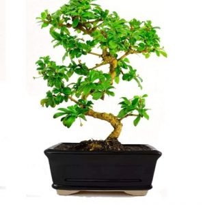 Carmona Bonsai Tree 7 Yrs Old 25cm