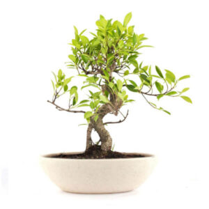 Stylish Ficus Plant Bonsai 4 Yrs (20cm)