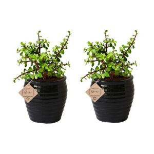 Good Luck Jade Plant Indoor with Pot (Combo of 2)