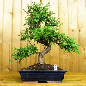 Ulmus Bonsai Tree 9 Yrs 30cm