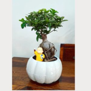 Grafted Ficus Bonsai tree – 6 Year old ( Without Figurine )