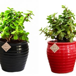 Good Luck Plant Jade  in Beautiful Black & Red Pot (Combo of 2)