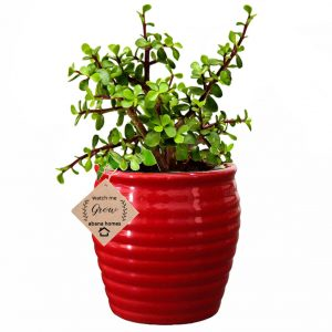 Good Luck Jade Plant in Ceramic Pot
