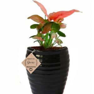 Air Purifying Plants Syngonium Mini Indoor Plant in Black Pot