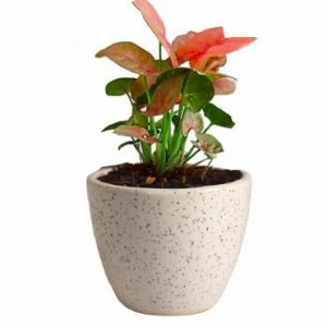 Air Purifying Plants Syngonium Mini Indoor Plant in White Pot