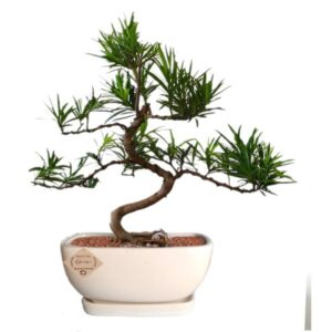 Podocarpus – Buddhist Pine Bonsai Plant – 4 Year old