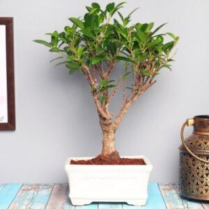 Ficus Plant Bonsai (i Shape)