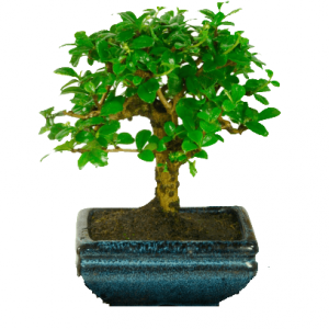 Flowering Bonsai Tree Carmona / Fukien Tea Tree