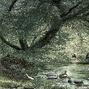 Geese and the Fig Tree The Wise Old Bird