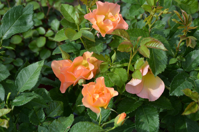 Morden Sunrise Rose in Flower