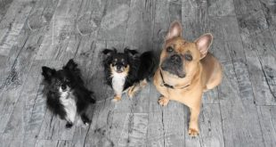 Why CHIHUAHUAS are a great pet?