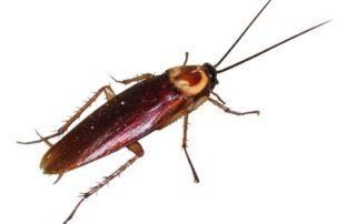 Invasion de blattes cafards, la Blatte américaine