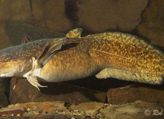 menyhal szaporodása