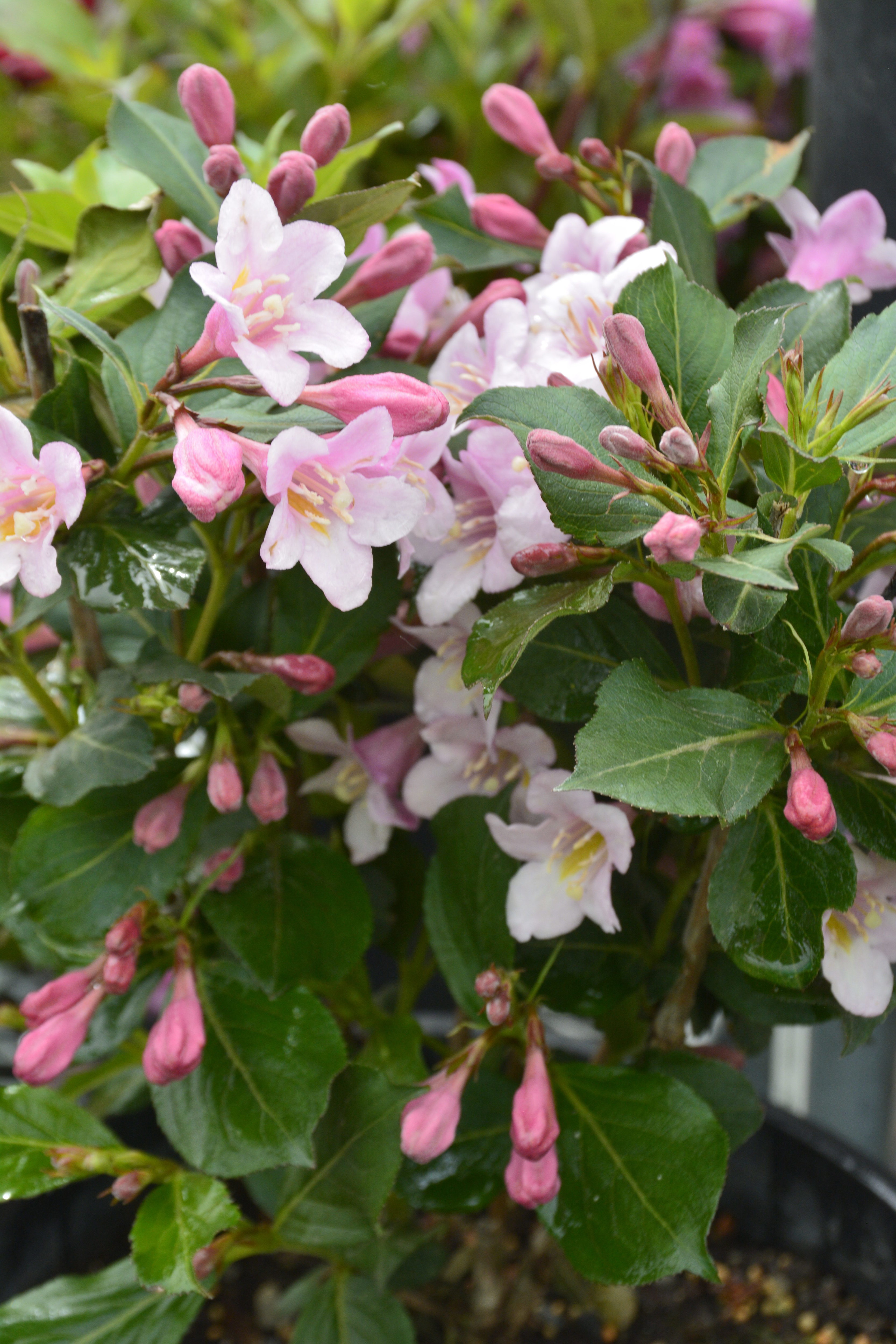 Polka Weigela Flower Close Up