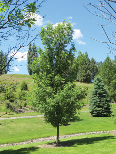 Prairie Spire Ash Full Tree