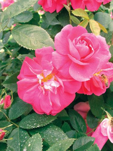 William Baffin Rose Flower Close Up