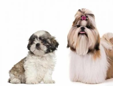 Teacup Shih Tzu with puppy