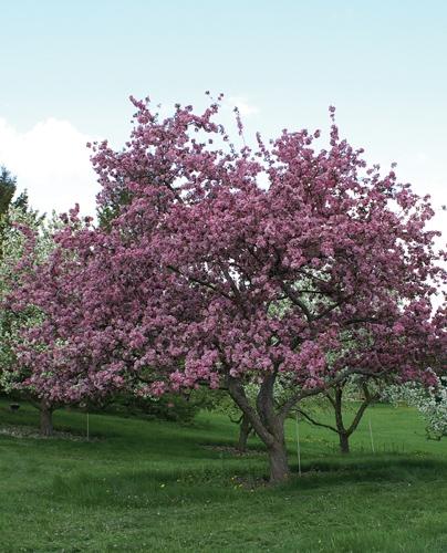 Selkirk Crabapple Full Tree