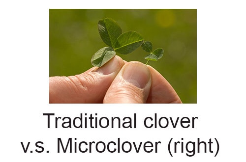 traditional clover vs micro clover size
