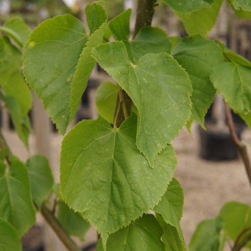 little leaf linden leaves