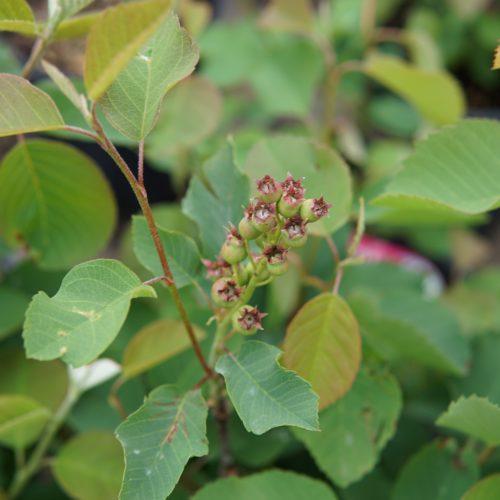 Smokey Saskatoon berry buds
