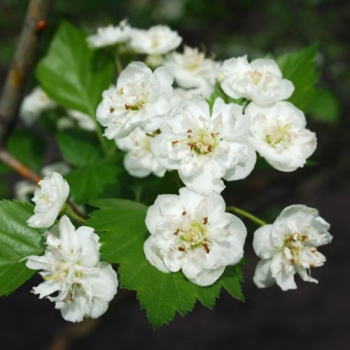 Snowbird Hawthorn Flower Close Up