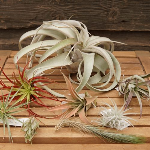 Air Plants overview