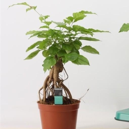 Radermachera Indoor Bonsai Plant