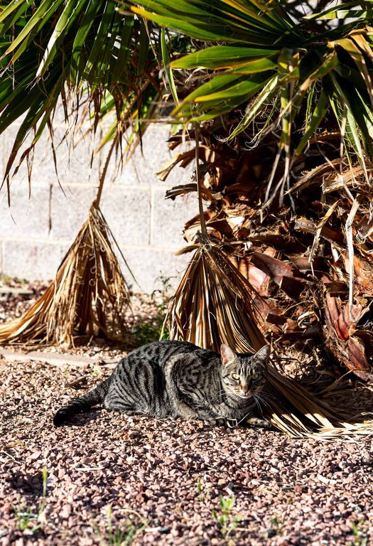 Striped tabby cat laying at the base of a palm tree