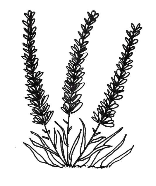 lavender flower botanical drawing