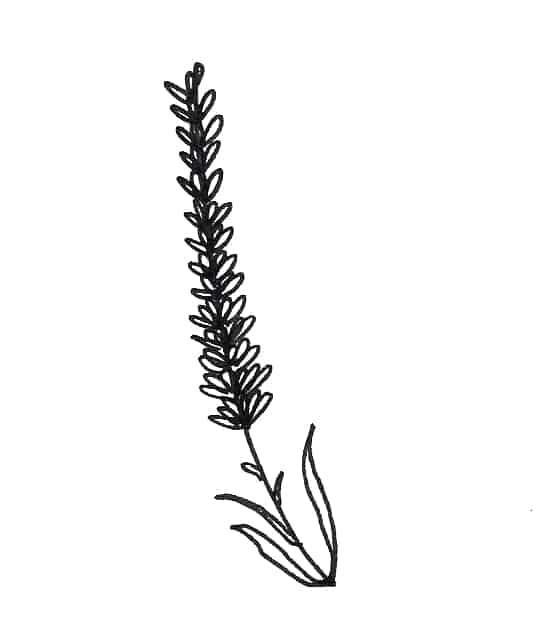 lavender doodle