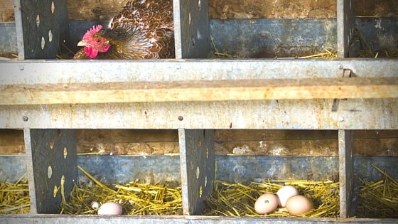 """Chickens Not Laying? Here's Why. Session 2 Of """"What The Cluck?"""" [Podcast]"""