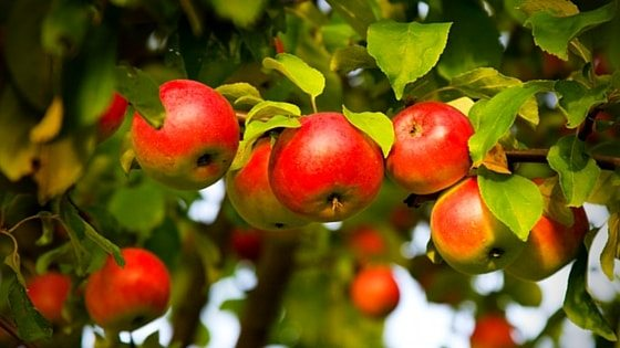 Planting A Homestead Orchard With Dwarf Fruit Trees