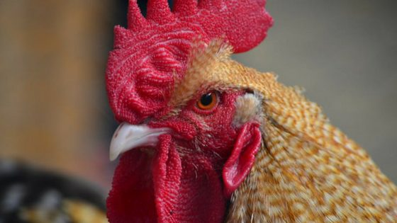 How to Help A Wounded Chicken [Video Tutorial]