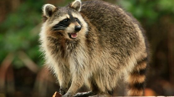 Do raccoons eat chickens? Here's what you need to know to keep your backyard flock safe!