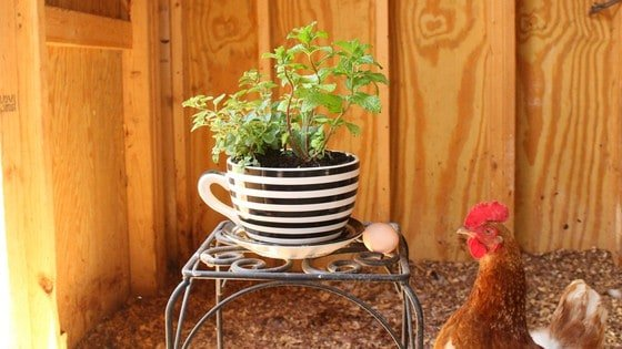 Try This Adorable DIY Herb Pot for Healthier Backyard Chickens!