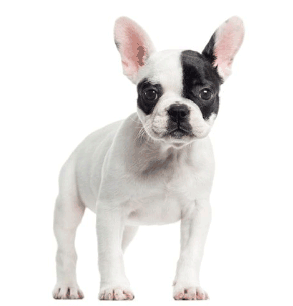 French Bulldog Lifespan