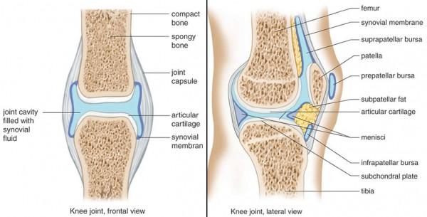 Knee synovium