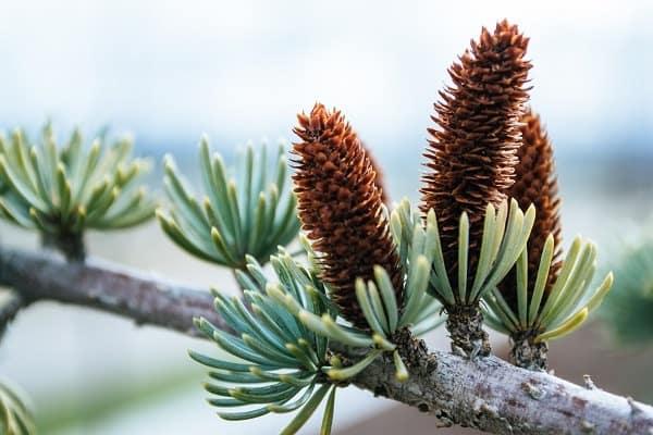 are pine cones edible