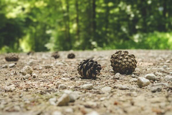 can i eat pine cones