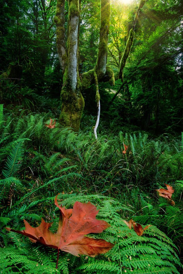 A moss covered maple tree in British Columbia with green ferns and dead leaves in the foreground