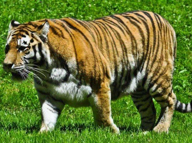 Tigre d'Afrique - Panthera tigris