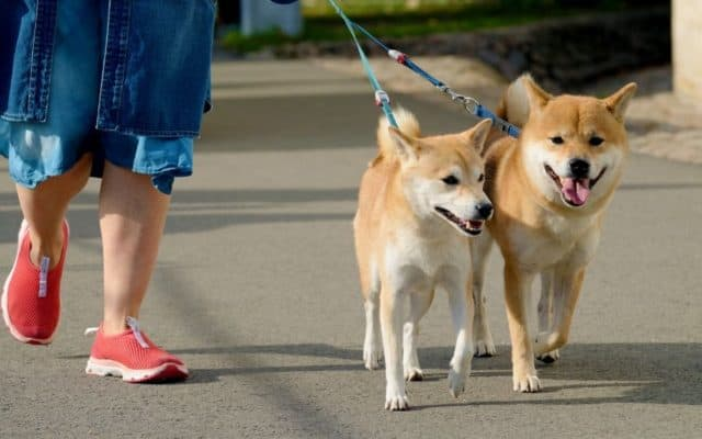 Walking your dogs on a leash