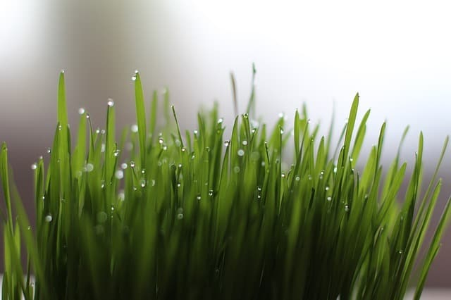 how to grow vegetables wheatgrass
